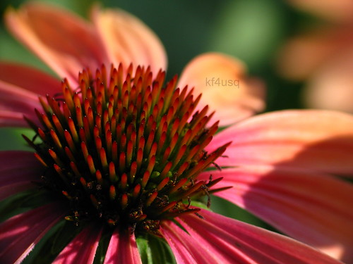 pink sunset orange flower pretty echinacea bloom coneflower