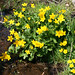 marsh marigold - Photo (c) scarabaeus_58, some rights reserved (CC BY-NC)