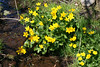 Marsh-marigold - Photo (c) scarabaeus_58, some rights reserved (CC BY-NC)