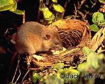 Rat predating a nest