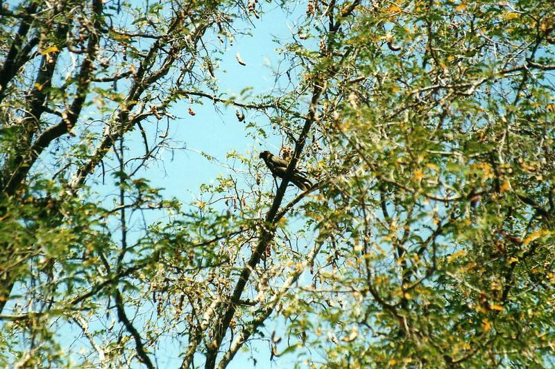 Vasa Parrot (Coracopsis vasa)