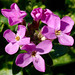 Coast Rockcress - Photo (c) James Gaither, some rights reserved (CC BY-NC-ND)