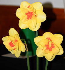 Trio of Narcissus