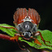 Common Cockchafer - Photo (c) Jürgen Mangelsdorf, some rights reserved (CC BY-NC-ND)