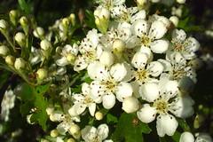 berry(0.0), branch(0.0), crataegus pinnatifida(0.0), produce(0.0), fruit(0.0), food(0.0), prunus spinosa(0.0), blossom(1.0), evergreen(1.0), shrub(1.0), flower(1.0), plant(1.0), flora(1.0), hawthorn(1.0),