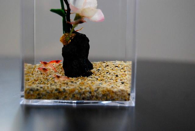 pet shrimp