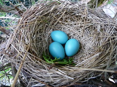 The 3 Baby Robins + More