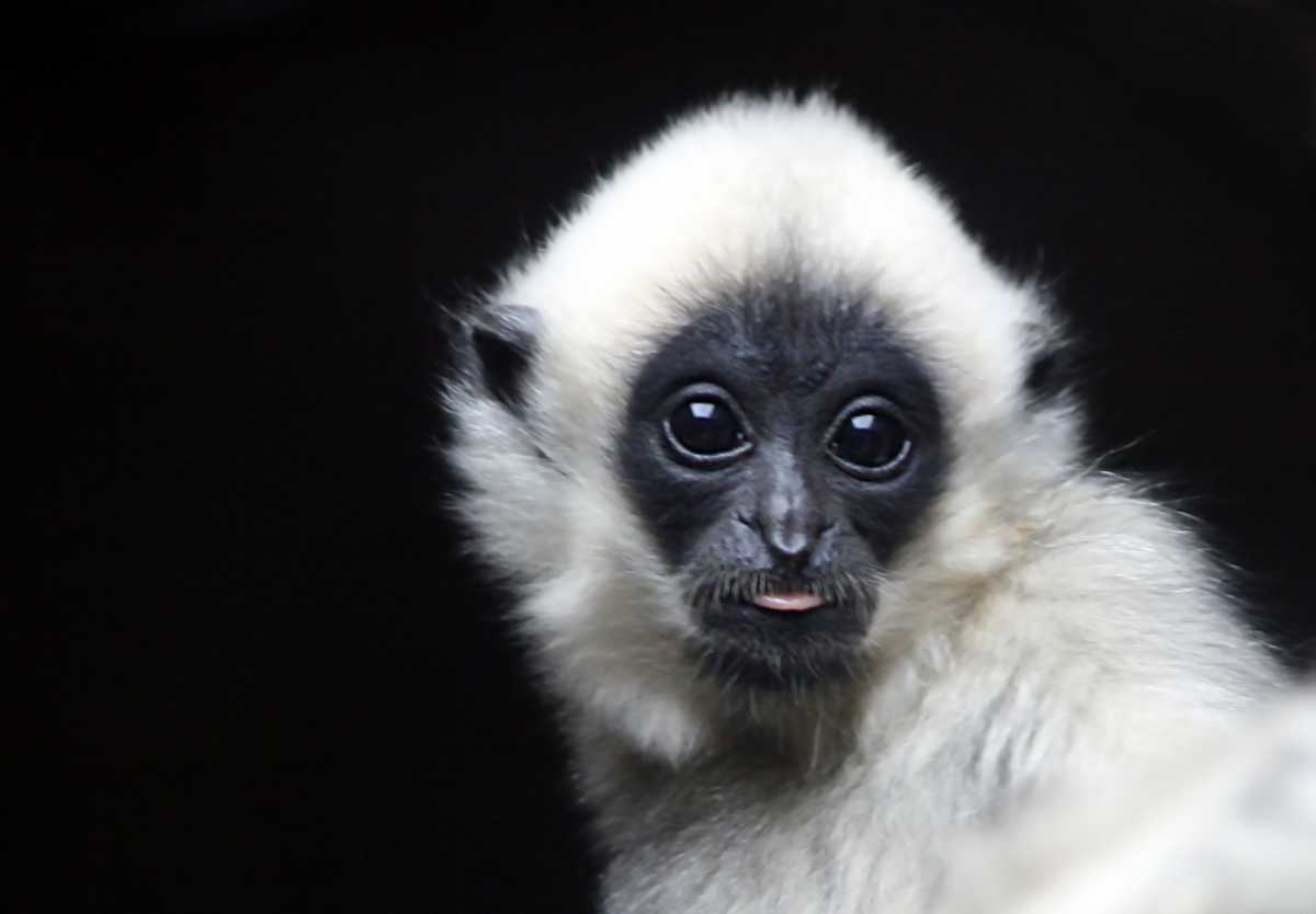 Baby Gibbon - a photo on Flickriver
