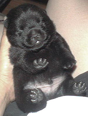 Schipperke Puppies on New Born Schip Puppy New Born Schipperke Puppy