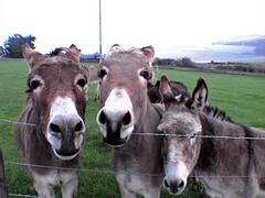 animal, mane, donkey, pack animal, fauna, pasture,