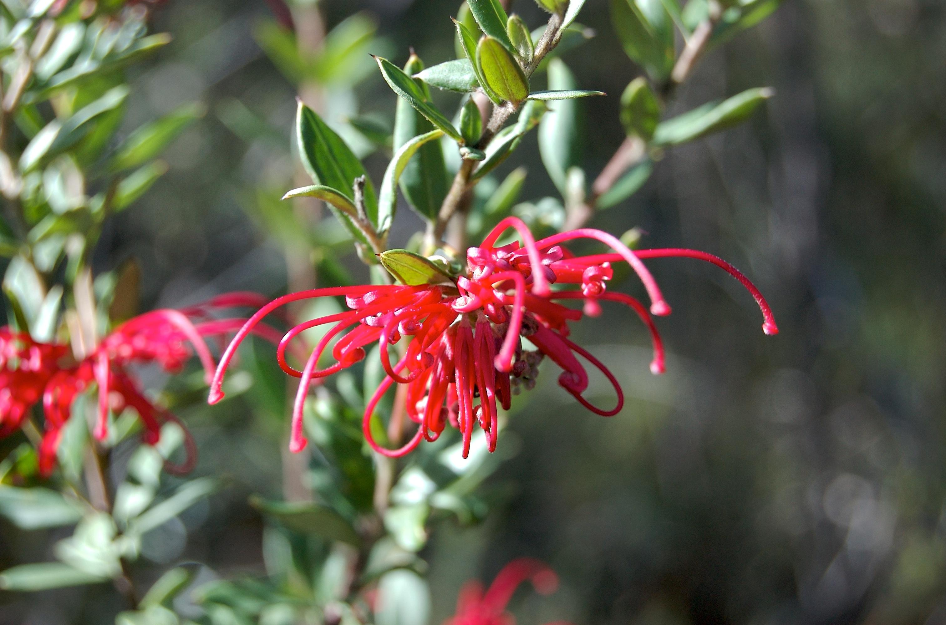 Red Spider Flower Grevillea speciosa