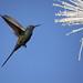 Série com o Beija-flor Tesoura (Eupetomena macroura) e o Embiruçu-do-Cerrado (Pseudobombax longiflorum) - Séries with the Swallow-tailed Hummingbird and the Shaving Brush Tree (Pseudobombax longiflorum) - 30-05-2009 - IMG_1829