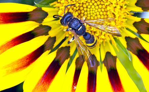 wasp cerceris crabronidae cameradeourobrasil colorphotoaward philanthinae excapture macromarvels rubyphotographer dragondaggerawards
