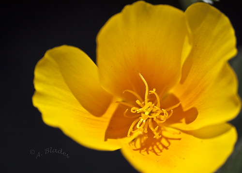 Heart of Gold the California Poppy