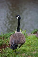 Loose Park - Rain - One legged duck