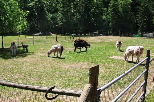 Llamas on a Llama Farm in Victoria, Vancouver Island, British Columbia, Canada