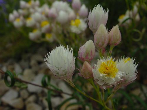 Waitzia accuminata var. accuminata