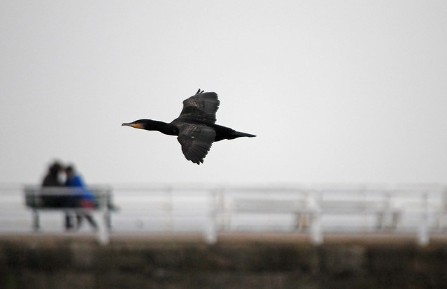 Cormorant (Phalacrocorax carbo) Flying Past a Couple on a Bench, Whitby Harbour