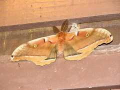 arthropod, pollinator, animal, moth, moths and butterflies, wing, invertebrate, fauna, bombycidae,