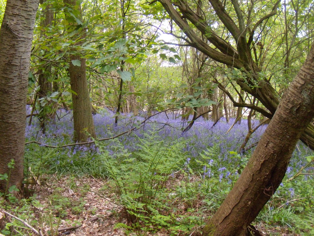 Bluebells 1 Hurst Green to Chiddingstone Causeway