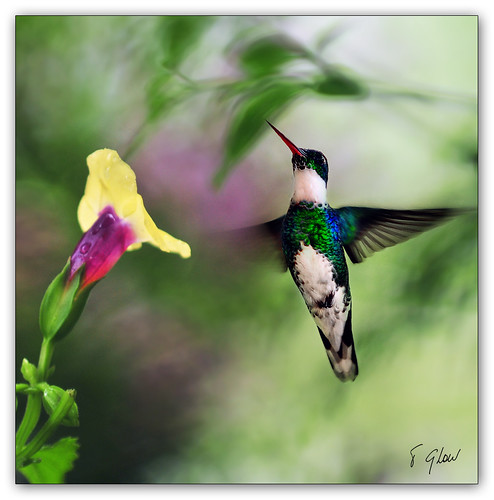 hummingbirdream