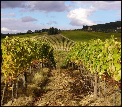 Tignanello's vineyard