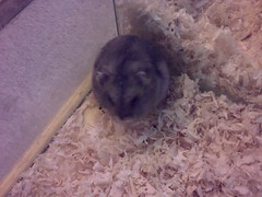 animal, rodent, pet, hamster, gerbil,
