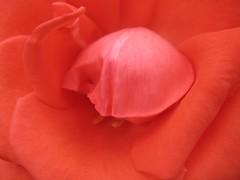 ooty09_Rose02