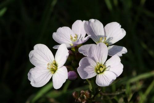 Cuckoo Flower 8516
