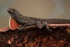 animal, newt, reptile, lizard, macro photography, fauna, close-up, scaled reptile,