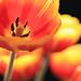 Sun-worshipping Tulips [Explored]