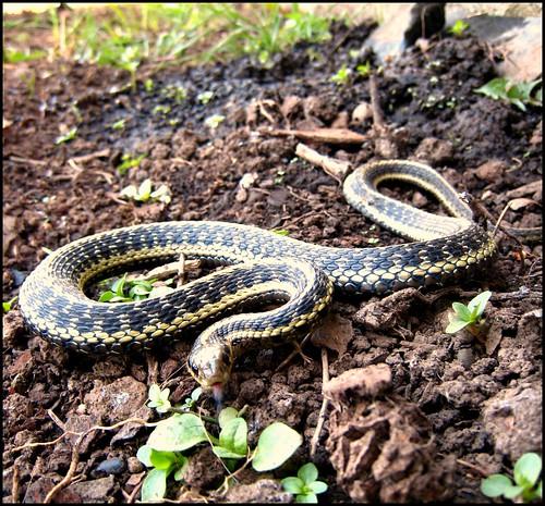 No Cold Feet Common Garter Snake