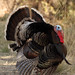 Wild Turkey male displaying