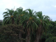date palm, arecales, tree, flora, elaeis, biome, vegetation,