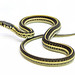 Plains Garter Snake - Photo (c) Matt Reinbold, some rights reserved (CC BY-ND)