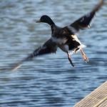 duck2-flickr