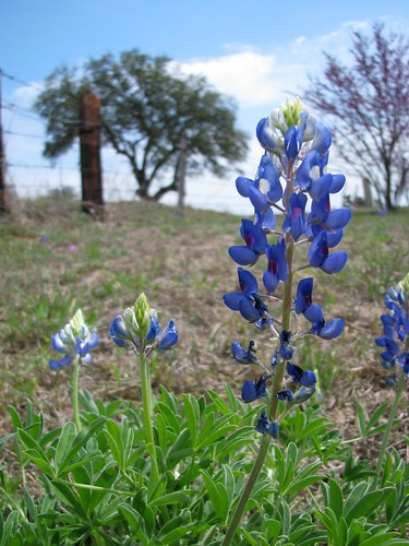 flowers texas wildflowers hillcountry bluebonnets texaswildflowers lupinustexensis blueflowers centraltexas llanocounty packsaddlemountain mlhradio