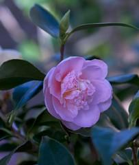 camellia, camellia sasanqua, flower, plant, flora, camellia japonica, theaceae, petal,