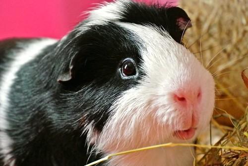 Guinea Pig by rebecca2065