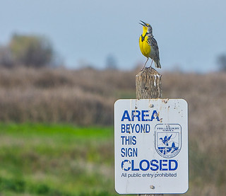 Merced National Wildlife Refuge- Western Meadowlark