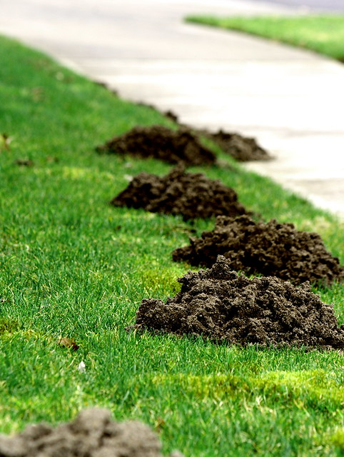 Moles In Yard Removal Naturally