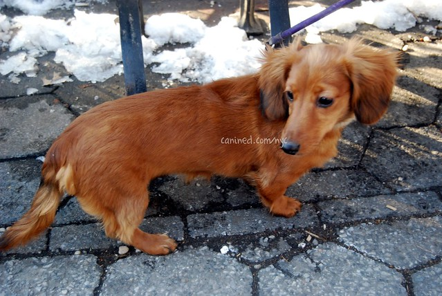 month old red long haired dachshund puppy downtown new york city dog ...