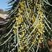 Small photo of Acacia pendula. Flowers