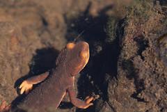 Taricha sierrae (Sierra Newt)