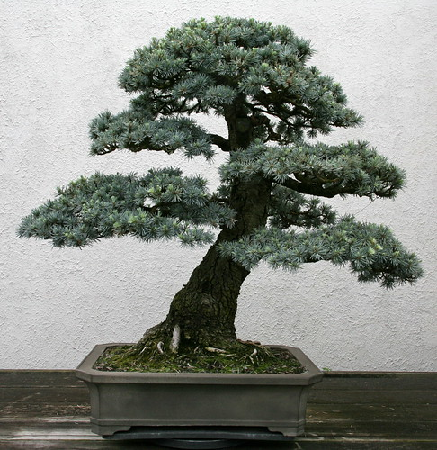 Blue Atlas Cedar (Cedrus atlantica)