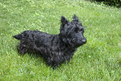 dog breed, animal, dog, pumi, pet, glen of imaal terrier, vulnerable native breeds, schnauzer, cesky terrier, cairn terrier, australian terrier, miniature schnauzer, carnivoran, scottish terrier, terrier,