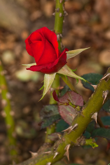 What Is the Purpose of a Thorn on a Rose Bush?