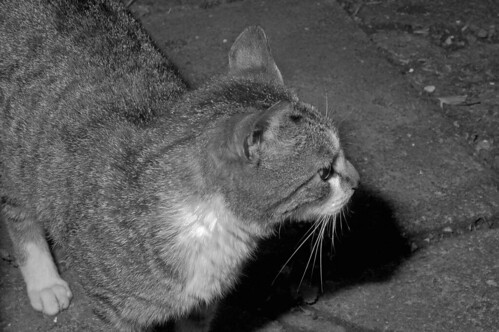 Black and White Kittykat - listening out for the grey and white kitten to chase out of the garden : 1967 Nikkor Micro 55 mm F3.5 - Sunpak Auto zoom 3600 thyristor test shot :