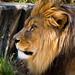 Rey león.