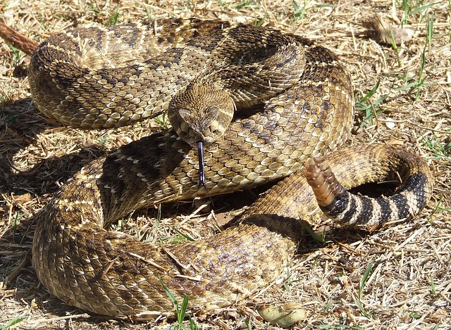 photo Western Diamondback Rattlesnake Striking